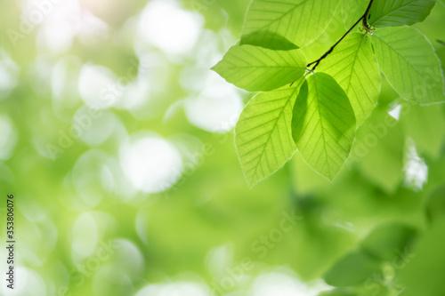 Fototapety, obrazy: Spring leaf of beech tree