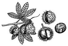 Chestnut Set Of Vector Sketche...