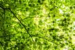 Leinwanddruck Bild - Blätterdach Baumkrone Grün Lichtspiel
