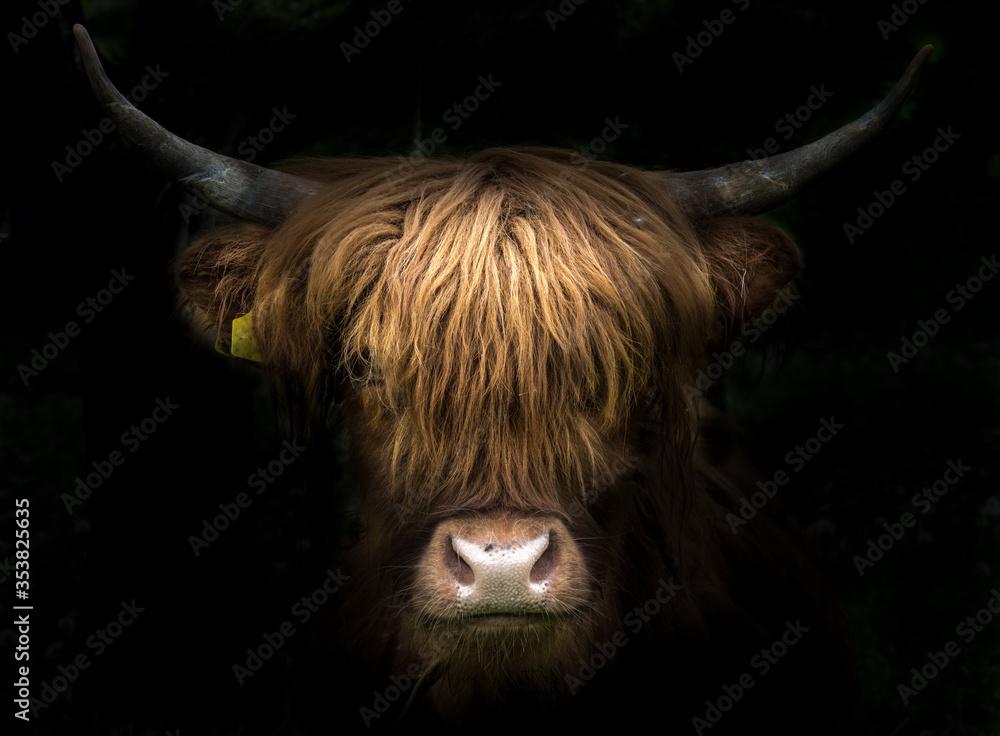 Fototapeta Portrait of a scottish highland cow (Bos Taurus)