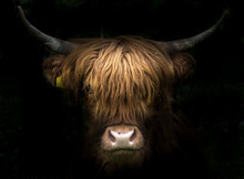 Portrait Of A Scottish Highland Cow (Bos Taurus)