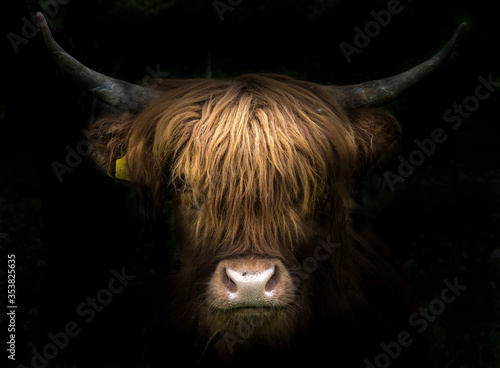 Fotografia Portrait of a scottish highland cow (Bos Taurus)
