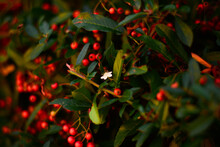 Beautiful Bush With Red And Orange Berries And One Alone White Flower