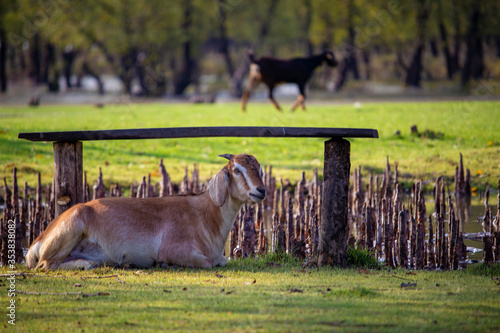 Landscape Goat sitting in the grass Canvas Print