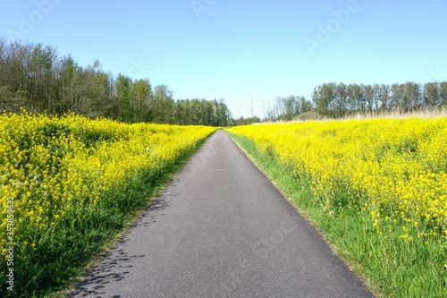 Road in nature reserve The Vlietlanden in Leidschendam, The Netherlands, with colza flowers (rapeseed) in the springtime. #353859632