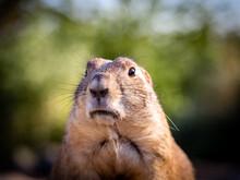 Standing Prairie Dog Face Portrait