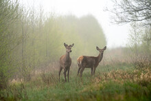 Two Young Deer In Wildlife