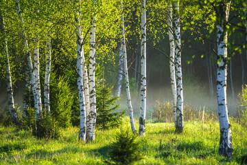 Fototapeta Brzoza Spring in the birch grove