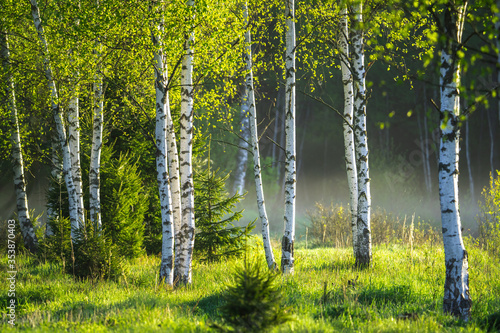 Spring in the birch grove Fototapeta