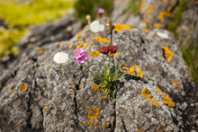 Wild Pink And Brown Flower Growing On A Rock In The Norwegian Coast.