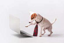 Cute Jack Russell Terrier Wear...