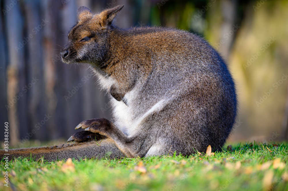 Fotografia bennett känguru
