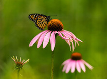 Monarch Butterfly On A Coneflo...