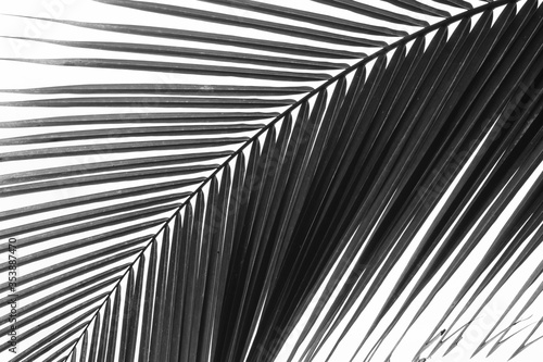 Palm Frond high contrast black and white in the Costa Rica Rain Forest