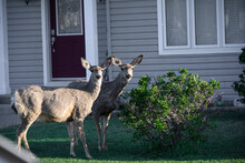 Two Deer In City Next To House