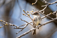 Perched Eastern Phoebe In A Ci...