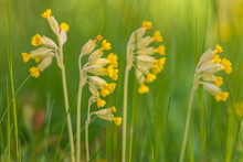 Yellow Cowslip Flower On Green Background During Early Summer.
