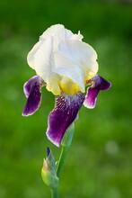 White And Purple Iris. Beautif...