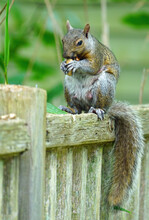 A Female Gray Squirrel Eating ...