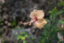 Hibiscus Gumamela Flower , Flora Of The Philippines, Gardening And Planting Flowers
