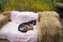 The Dog Sleeps On Straw Bales ...