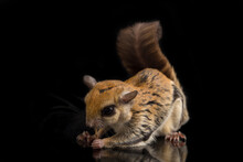 The Javanese Flying Squirrel (...
