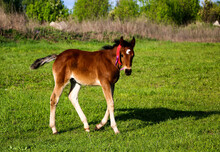 Young Thoroughbred Brown Foal Walks And Plays On  Green Pasture. Little Stallion Frolic And Eat Grass On  Spring Meadow, On Bright Sunny Day.
