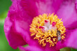 canvas print picture - Paeonia daurica in the garden