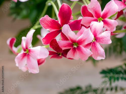 Fotografija Close up of Chinese honey Suckle, Rangoon Creeper, Drunken Sailor flower