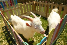 A Photograph Of A White Goat In A Cage . White Goats In Green Grassy Dutch Meadow Behind Wooden Fence In The Netherlands .
