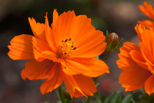 Sydney Australia, Close-up On An Orange Coreopsis Flower