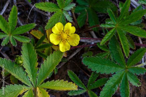 Fotografija Hojas y flor amarilla de la planta cinco en rama