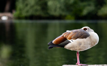 Egyptian Goose Chilling