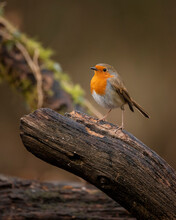 Stunning Image Of Robin Red Br...
