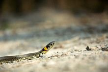 Close-up Of A Grass Snake Crawling On The Ground