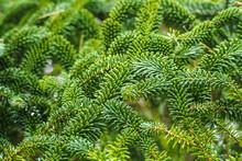 Fraser Fir Green Foliage Or Ab...