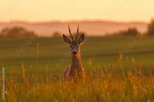 Fototapeta sarna kozioł w blasku zachodzącego słońca obraz