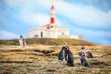 The Magellanic Penguins With The Lighthouse Of Magdalena Island Background, Chile