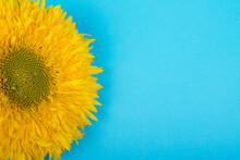 Bright Yellow Sunflower With D...