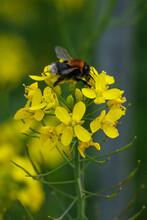Tree Bumble Bee (Bombus Hypnorum), Lagan River, Belfast, Northern Ireland, UK