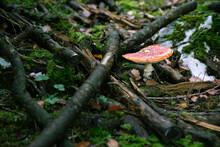 Gros Plan De Champignon Rouge Amanite En Automne Dans Une Forêt Humide