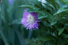 Beautiful Lilac Cornflower With Two Ants Close-up With Leaves