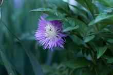 Beautiful Lilac Cornflower Wit...