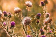 Thistle Flowers In Summer At S...
