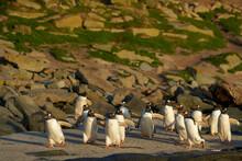 Gentoo Penguin (Pygoscelis Pap...