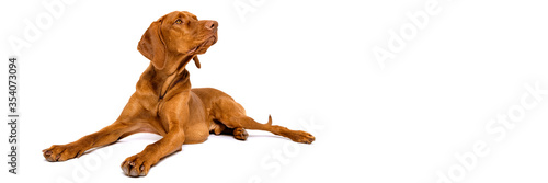 Beautiful hungarian vizsla dog full body studio portrait. Dog lying down and looking to the side over white banner. © andreaobzerova