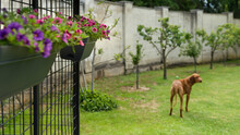 Beautiful Pink And Purple Mini Petunia Hanging Baskets Decorating A Dog Kennel In A Garden.