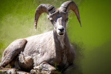 Big Horns On A Mountain Sheep ...