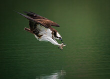 An Osprey (Pandion Haliaetus) Diving Into Water And Hunting Fish With Spread Curved Claws In Sindian, Taiwan