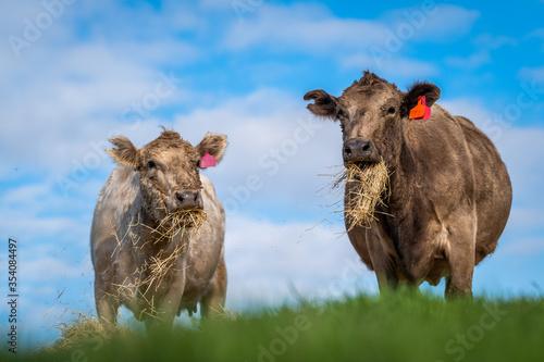 фотография Murray grey and Angus cows grazing on grass and hay.